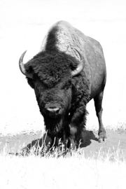 Big-Bull-2