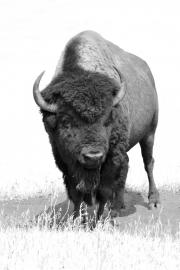 Big-Bull-3