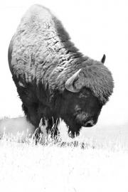 Big-Bull