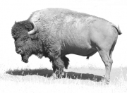 Old-Bull