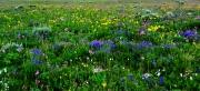 Big-Horn-Wildflowers