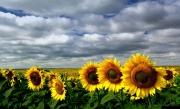 The-Sunflower-Fields-Pano