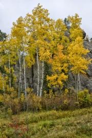 Aspens-and-Rocks