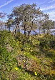 Torrey-Pines-Flowers